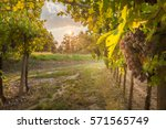 grape harvest | Shutterstock . vector #571565749