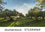Mediterranean Olive Field With...
