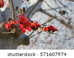 Red Cotton Tree Flowers...