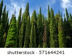Beautiful Tall Cypress Tree...