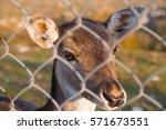 Portrait Of Beautiful Roe Deer...