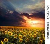 field of sunflower against the...   Shutterstock . vector #57167764