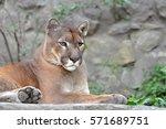 Puma  Cougar Portrait. Mountai...