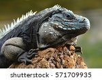 The Blue Iguana  Cyclura Lewis...