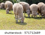 The Sheep On A Farm Outdoor