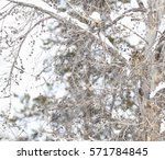 Great Horned Owl Camouflaged I...