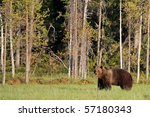 Wild brown bear in the forest of eastern Finland - stock photo