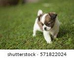 New Born Chihuahua Puppy...
