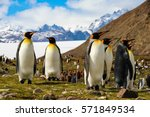 king penguins on south georgia... | Shutterstock . vector #571849534