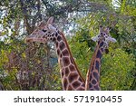 A Pair Of Reticulated Giraffes...