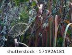 Wet Spider Web In A Marsh. ...