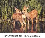 twin fawns nuzzling each other... | Shutterstock . vector #571933519