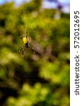 Small photo of Yellow Orb Weaver Spider