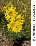 Small photo of yellow alpine sunflower or Hymenoxys grandiflora growing in Colorado