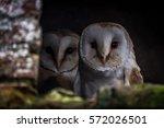 Two Barn Owls  Tyto Alba ...
