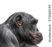 thinking chimpanzee portrait... | Shutterstock . vector #572060194