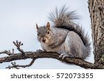 Gray Squirrel Sitting On A...