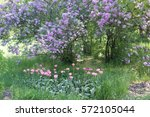 A Flower Bed With Tulips On A...