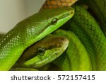 Small photo of Green Snakes in a terrarium
