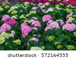 Colorful Hydrangea Pink...