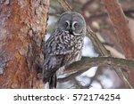 Great Grey Owl Sitting On...