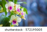 close up orchids and waterfall...   Shutterstock . vector #572195005