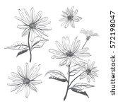 vector drawing flowers hand... | Shutterstock .eps vector #572198047