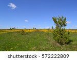 small pine trees and a field of ... | Shutterstock . vector #572222809