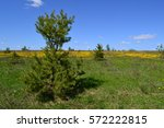 small pine trees and a field of ... | Shutterstock . vector #572222815