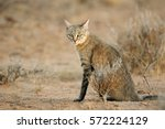 Small photo of An African wild cat (Felis silvestris lybica), Kalahari desert, South Africa