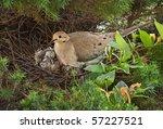 Nesting Mourning Dove Bird Wit...