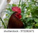 red headed rooster cock fowl... | Shutterstock . vector #572282671