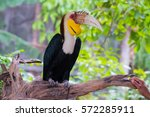 hornbill in the bird park of... | Shutterstock . vector #572285911