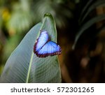 Blue Morpho Peleides With Open...