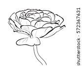 floral ranunculus for design ...   Shutterstock .eps vector #572367631
