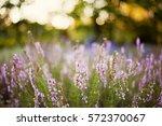 lavender at sunset light ... | Shutterstock . vector #572370067