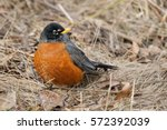 American Robin Standing In The...