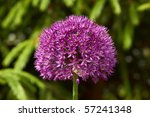Allium  Decorative Onion  ...