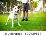 Stock photo jack russell dog with owner and leather leash ready to go for a walk 572429887