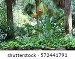 beautiful bird of paradise... | Shutterstock . vector #572441791