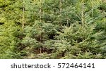 natural background made of fir... | Shutterstock . vector #572464141