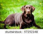pedigree dark labrador on fresh ... | Shutterstock . vector #57252148