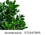 green leaves on a white... | Shutterstock . vector #572547895
