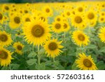 Sunflowers Background In Sunny...