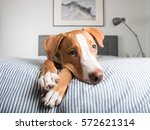 Stock photo young fawn mixed breed puppy laying on striped bed 572621314