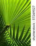 Backlit Fan Palm Leaf Showing ...