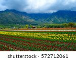 Tulip Garden at Srinagar in Kashmir