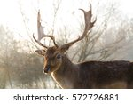 Beautiful Fallow Deer With...