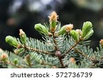 evergreen pine tree branch with ... | Shutterstock . vector #572736739