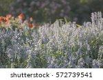 blue salvia flowers field close ...   Shutterstock . vector #572739541